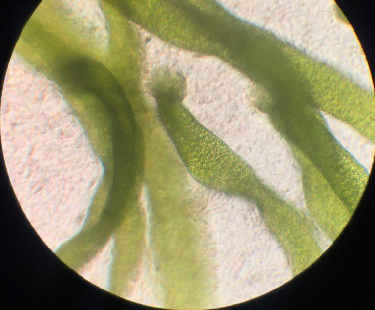 jonge Ulva plantje 1 wk
