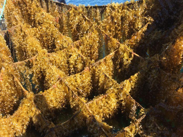 Harvested seaweed
